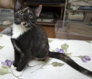 adoptable kitten Petfinder Kitten Associates