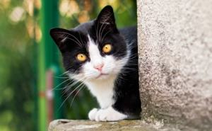 black and white feral cat