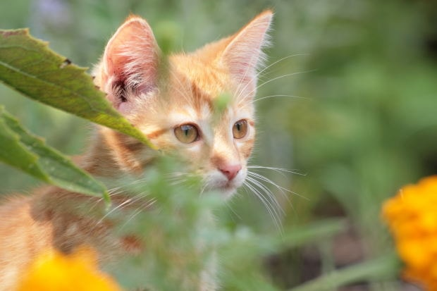 Natural remedies for feline asthma