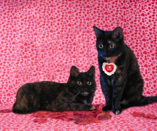 Valentines-Day-cats-cute