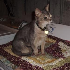 Circe Abyssynian cat