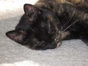 cat0sleeping-tortoiseshell-cute