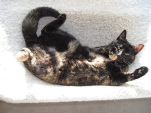 tortoiseshell-cat-belly-cute