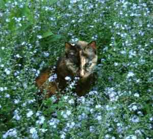 tortoiseshell_cat_forget_me_nots