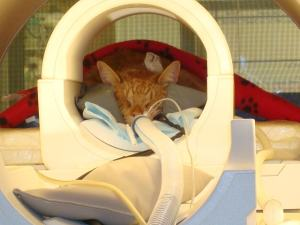 cat_MRI_anesthesia