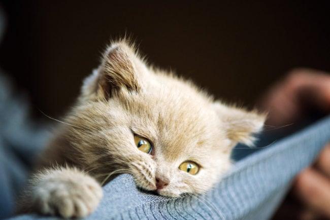 pica-cat-wool-sucking