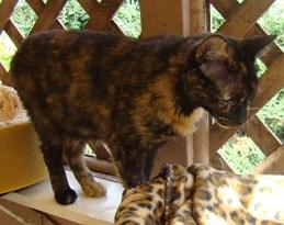 adoptable tortoiseshell cat