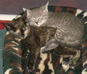 tortoiseshell_kitten-grey_tabby_kitten