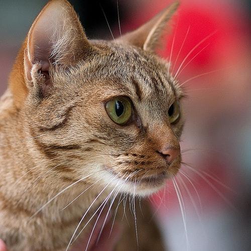 how to give a nebulizer treatment to an asthmatic cat the