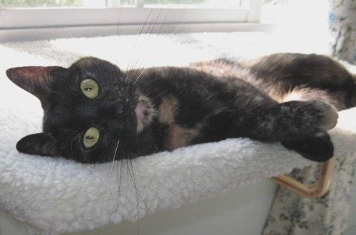 tortoiseshell_cat_on_window_perch