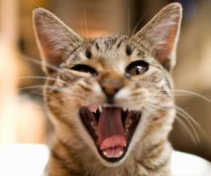 bad_breath_in_cats
