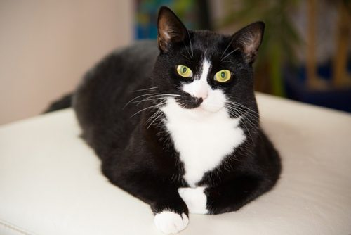 feline-diabetes-epidemic