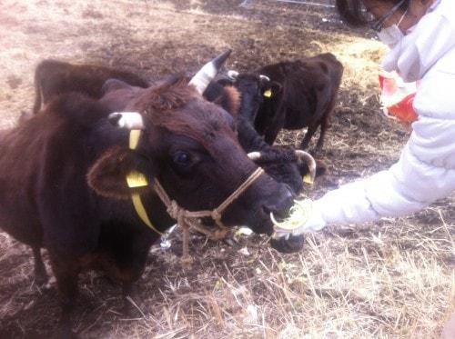 cow-fukushima-nuclear-reactor