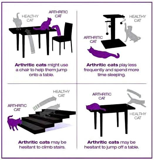 feline-arthritis