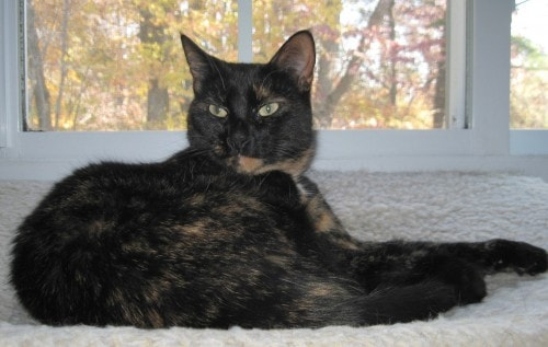 tortoiseshell-cat-fall-colors