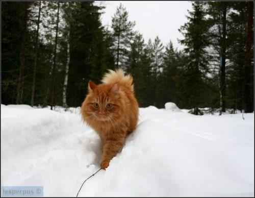 Jesper-skiing-cat