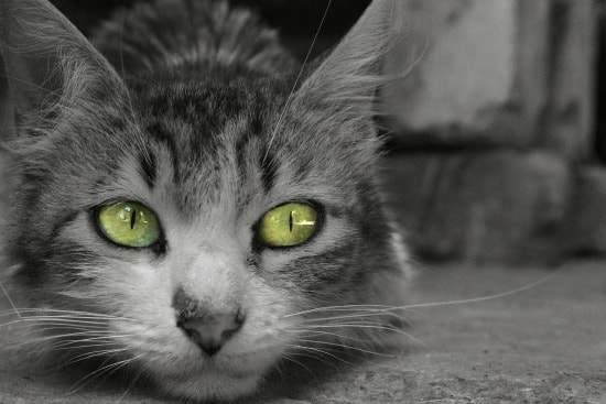 blindness-in-cats