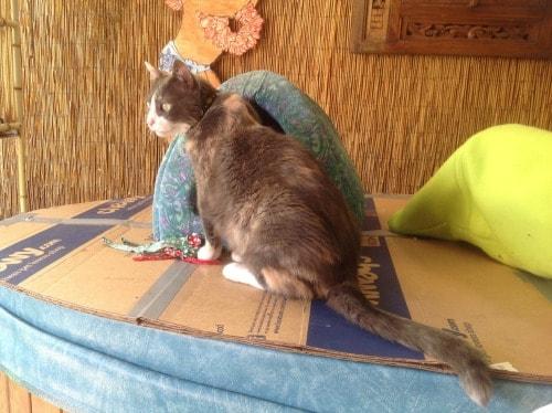 dilute-tortoiseshell-cat