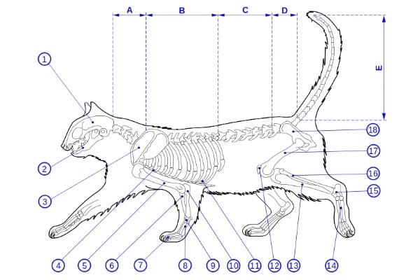 Feline Anatomy 101 - The Conscious Cat