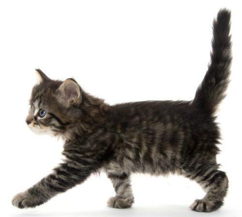 Body Of Sternum Diagram Feline Anatomy 101 The Conscious Cat