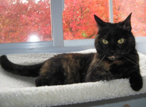 tortoiseshell-cat-maple-tree