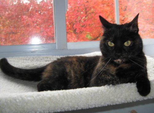 tortoiseshell-cat-maple-tree