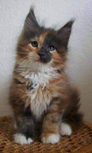 tortoiseshell-maine-coon-kitten