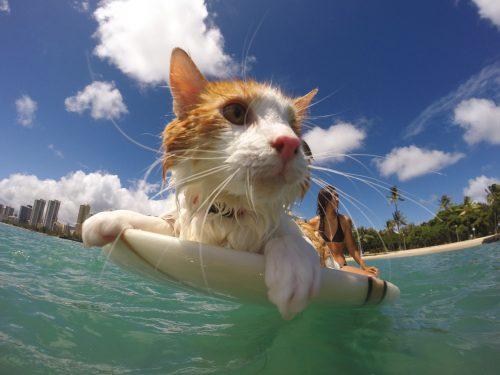 adventure-cats-surfing-cat