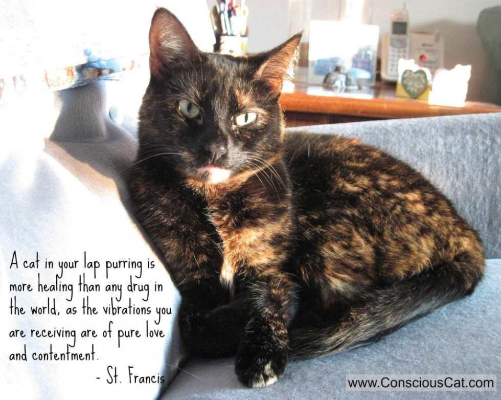 cat-lap-purring