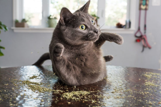 grey-cat-catnip