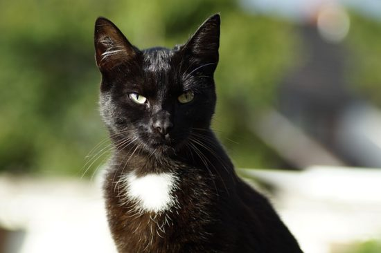 black-cat-white-chest