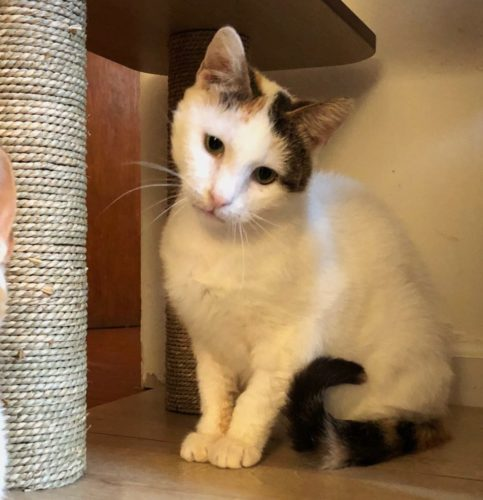 white-cat-calico-markings