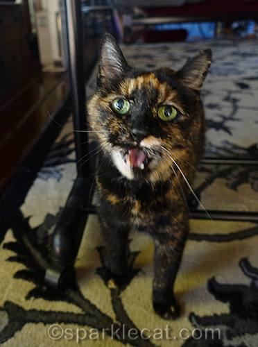tortitude-tortoiseshell-cat