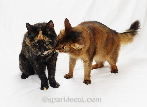 tortoiseshell-cat-somali-cat