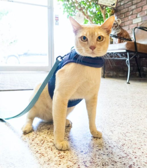 cat-walking-harness