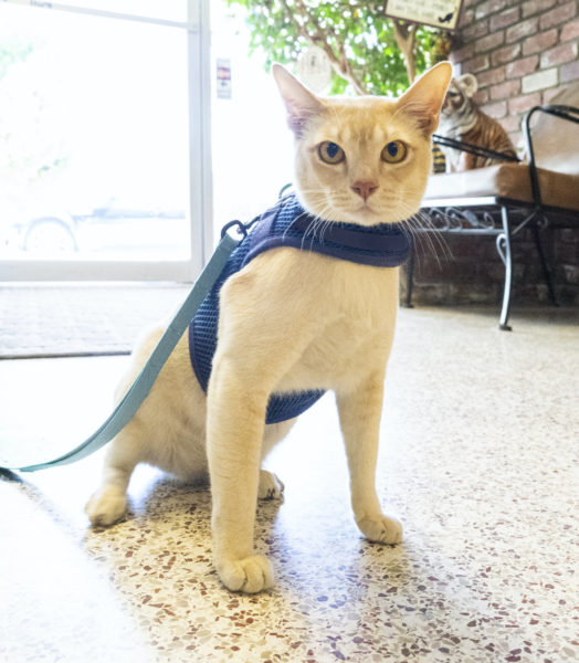 cat-walking-harness