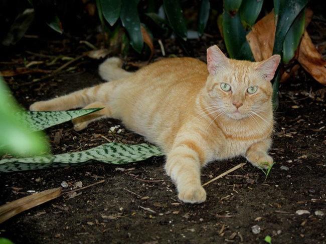 Aztec-cats-Orion