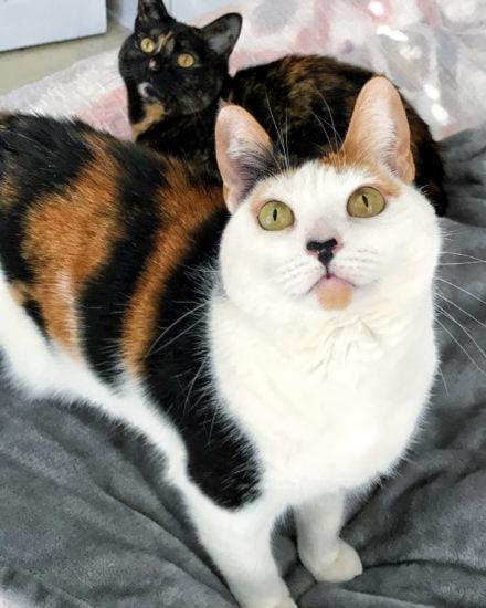 tortoiseshell-calico-cat
