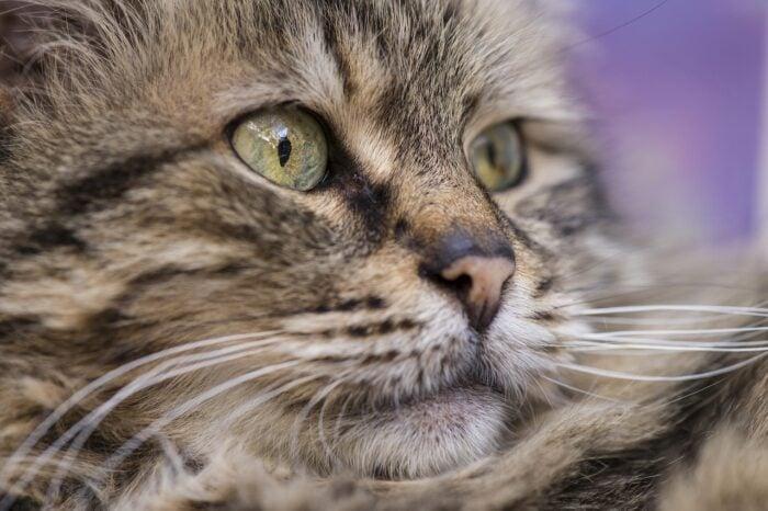 sad-cat-pet-loss