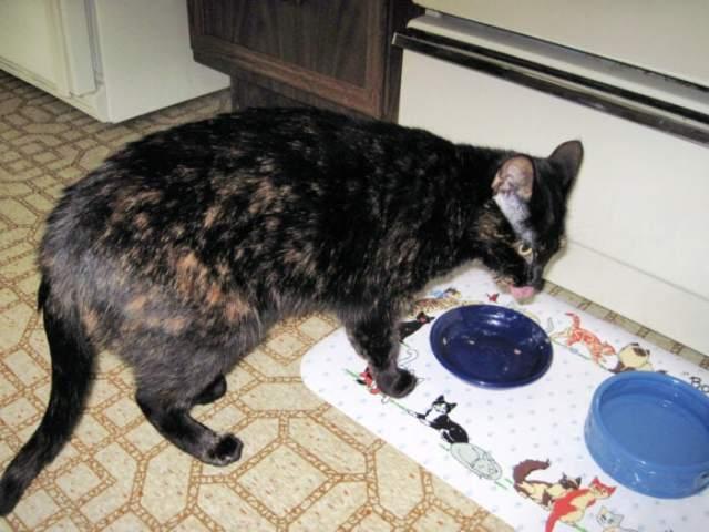 tortoiseshell-cat-eating