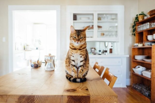 cat-kitchen-table