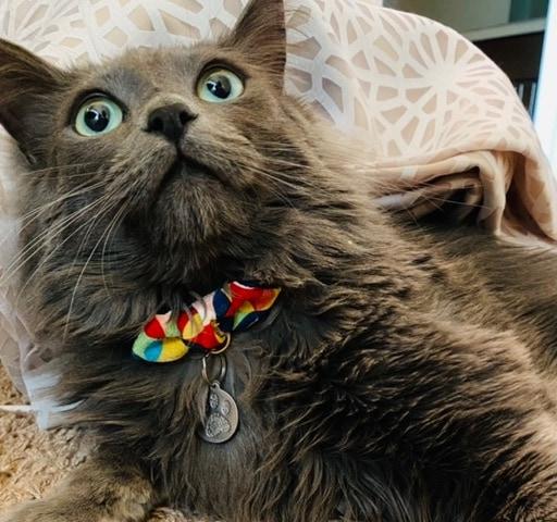grey-cat-bowtie