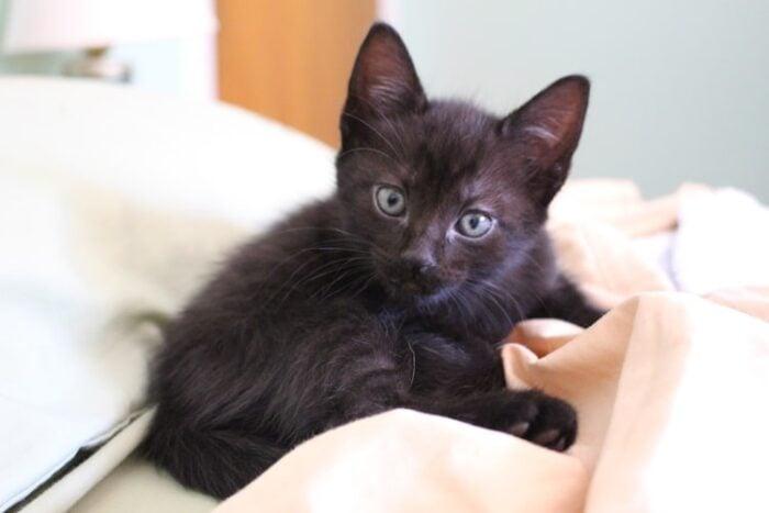 black-kitten