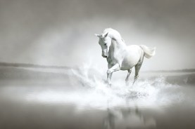 White horse running through water