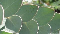 Eucalyptus Essential Oil Extraordinaire