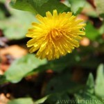 All About Dandelions and Their Health Benefits