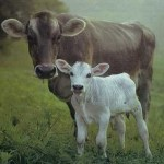 The Original Geo-Engineers: How to Save the Iconic West from the Cow