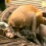Indian Monkey Revives Electrocuted Friend