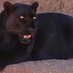 AMAZING Video: Animal Communicator Telepathically Communicates with Panther