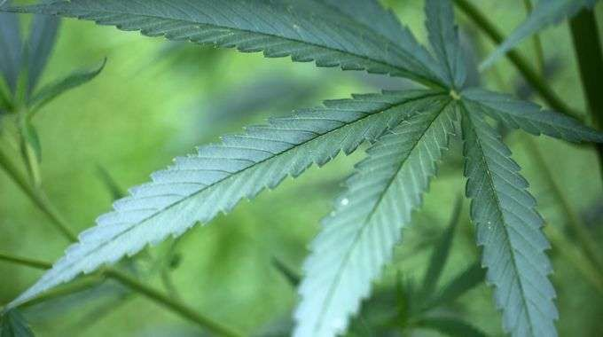 cannabis_leaf